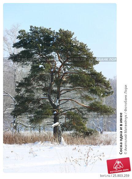 Купить «Сосна одна и в инее», эксклюзивное фото № 25803259, снято 29 января 2017 г. (c) Анатолий Матвейчук / Фотобанк Лори