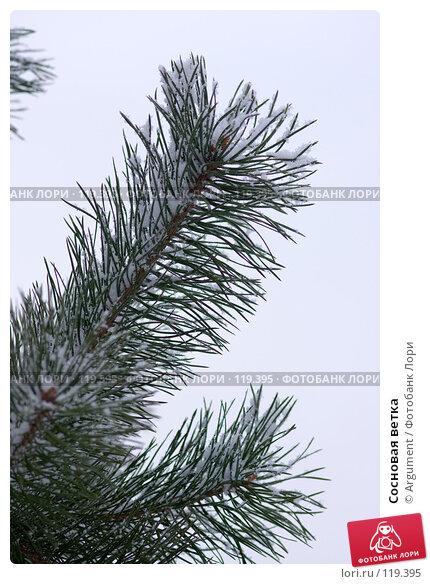 Сосновая ветка, фото № 119395, снято 16 ноября 2007 г. (c) Argument / Фотобанк Лори