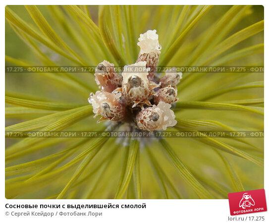 Сосновые почки с выделившейся смолой, фото № 17275, снято 15 апреля 2006 г. (c) Сергей Ксейдор / Фотобанк Лори