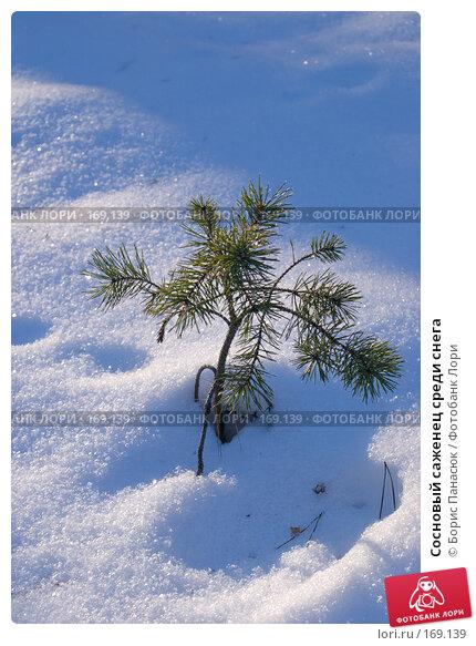 Сосновый саженец среди снега, фото № 169139, снято 31 декабря 2007 г. (c) Борис Панасюк / Фотобанк Лори
