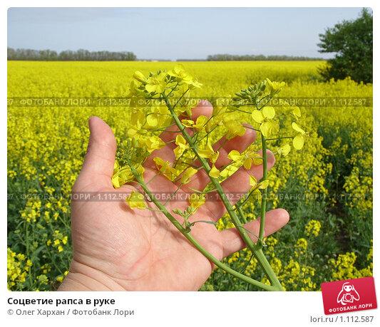 Купить «Соцветие рапса в руке», фото № 1112587, снято 6 мая 2009 г. (c) Олег Хархан / Фотобанк Лори