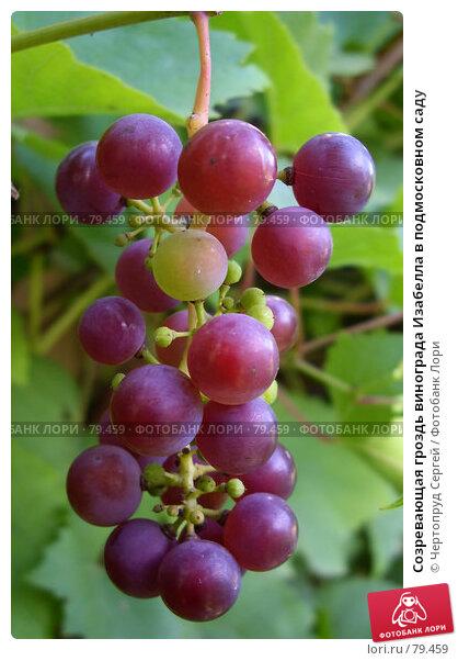 Созревающая гроздь винограда Изабелла в подмосковном саду, фото № 79459, снято 2 сентября 2007 г. (c) Чертопруд Сергей / Фотобанк Лори