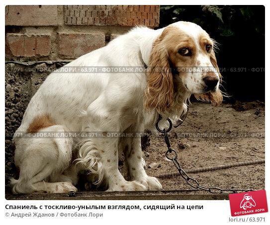 Спаниель с тоскливо-унылым взглядом, сидящий на цепи, фото № 63971, снято 21 июля 2007 г. (c) Андрей Жданов / Фотобанк Лори