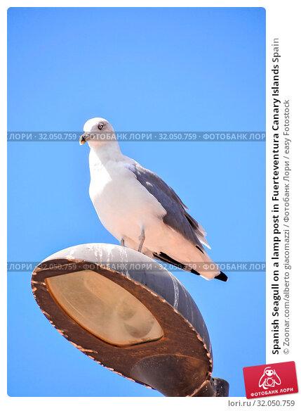 Spanish Seagull on a lamp post in Fuerteventura Canary Islands Spain. Стоковое фото, фотограф Zoonar.com/alberto giacomazzi / easy Fotostock / Фотобанк Лори