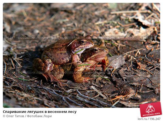 Спаривание лягушек в весеннем лесу, фото № 196247, снято 21 января 2017 г. (c) Олег Титов / Фотобанк Лори
