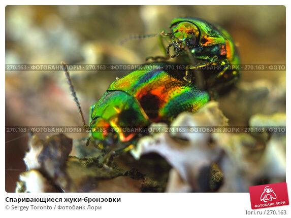 Спаривающиеся жуки-бронзовки, фото № 270163, снято 26 апреля 2008 г. (c) Sergey Toronto / Фотобанк Лори