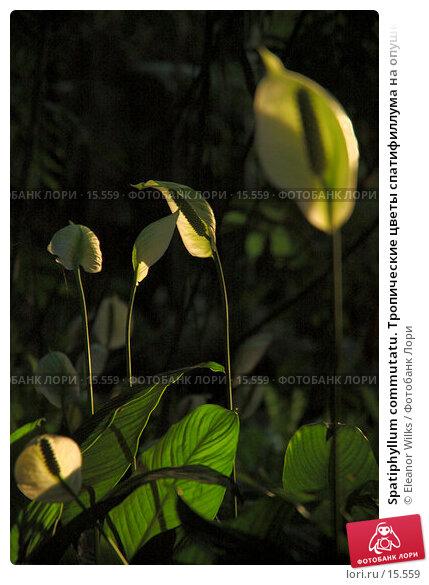 Купить «Spatiphyllum commutatu. Тропические цветы спатифиллума на опушке леса в лучах закатного солнца.», фото № 15559, снято 26 ноября 2006 г. (c) Eleanor Wilks / Фотобанк Лори