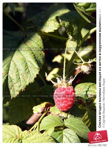 Спелая ягодка малины висящая на ветке в окружении малинных листьев, фото № 80747, снято 22 июля 2007 г. (c) Сергей Лешков / Фотобанк Лори