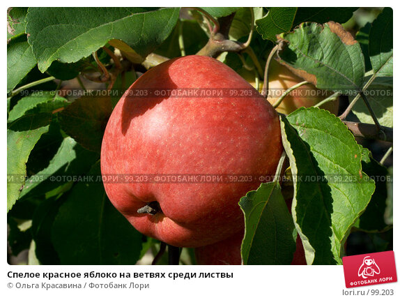 Спелое красное яблоко на ветвях среди листвы, фото № 99203, снято 13 августа 2007 г. (c) Ольга Красавина / Фотобанк Лори