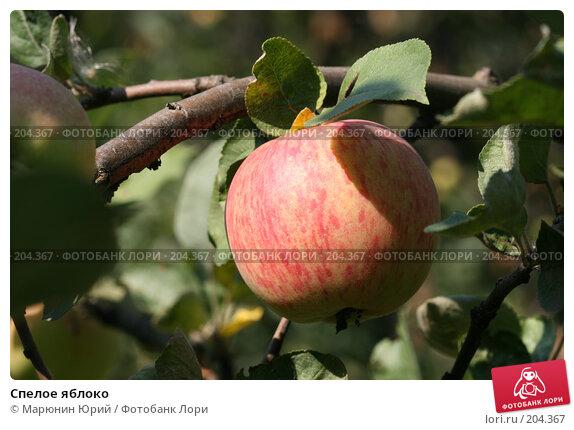Спелое яблоко, фото № 204367, снято 17 августа 2007 г. (c) Марюнин Юрий / Фотобанк Лори