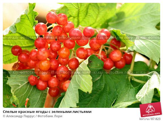 Купить «Спелые красные ягоды с зелеными листьями», фото № 87823, снято 8 сентября 2007 г. (c) Александр Паррус / Фотобанк Лори