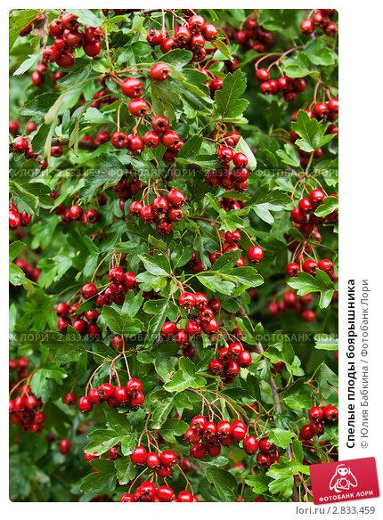 Купить «Спелые плоды боярышника», фото № 2833459, снято 17 сентября 2011 г. (c) Юлия Бабкина / Фотобанк Лори