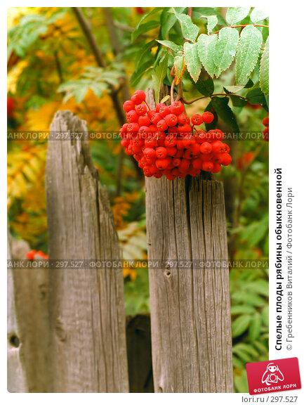 Спелые плоды рябины обыкновенной, фото № 297527, снято 28 октября 2016 г. (c) Гребенников Виталий / Фотобанк Лори