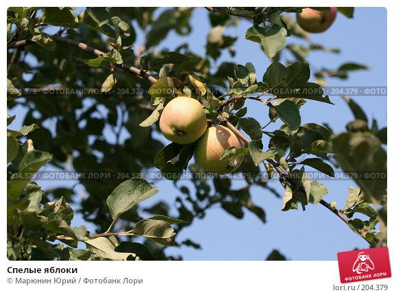 Спелые яблоки, фото № 204379, снято 17 августа 2007 г. (c) Марюнин Юрий / Фотобанк Лори