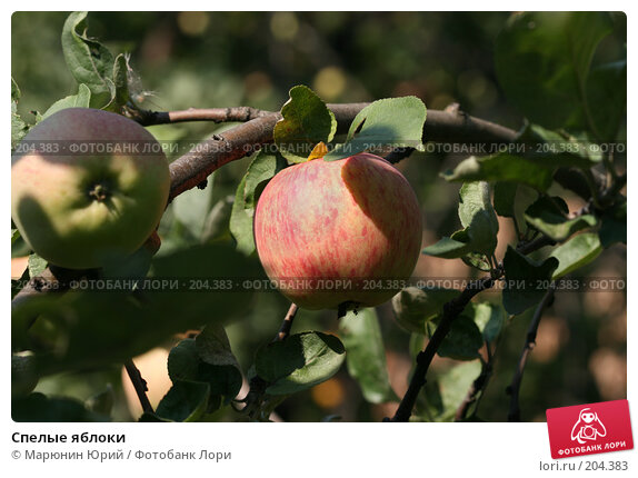 Спелые яблоки, фото № 204383, снято 17 августа 2007 г. (c) Марюнин Юрий / Фотобанк Лори