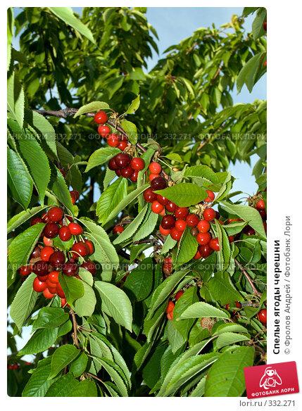 Купить «Спелые ягоды черешни», фото № 332271, снято 5 июня 2008 г. (c) Фролов Андрей / Фотобанк Лори