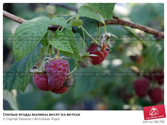Спелые ягоды малины весят на ветках, фото № 80755, снято 28 июля 2007 г. (c) Сергей Лешков / Фотобанк Лори