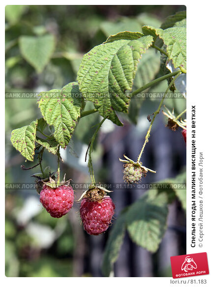 Спелые ягоды малины висящие на ветках, фото № 81183, снято 15 декабря 2007 г. (c) Сергей Лешков / Фотобанк Лори