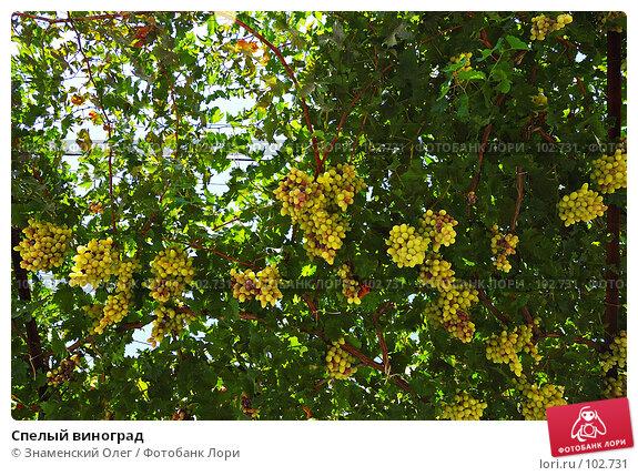 Купить «Спелый виноград», фото № 102731, снято 23 января 2019 г. (c) Знаменский Олег / Фотобанк Лори