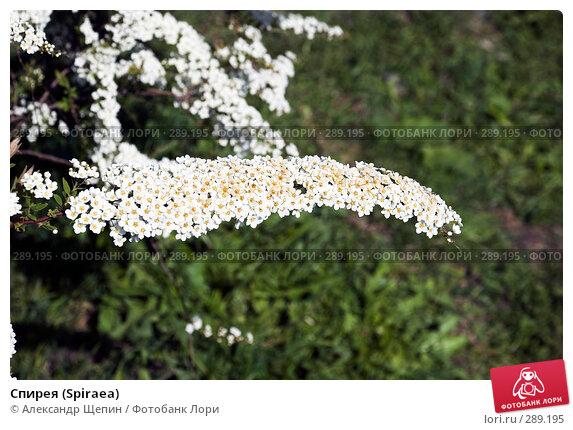 Спирея (Spiraea), эксклюзивное фото № 289195, снято 17 мая 2008 г. (c) Александр Щепин / Фотобанк Лори