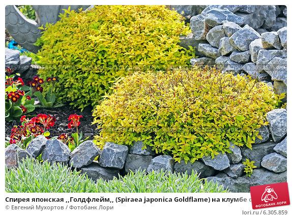 Купить «Спирея японская ,,Голдфлейм,, (Spiraea japonica Goldflame) на клумбе среди камней», эксклюзивное фото № 6305859, снято 27 июня 2013 г. (c) Евгений Мухортов / Фотобанк Лори