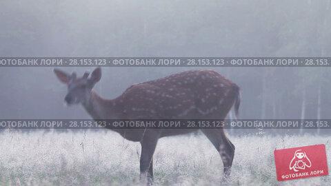 Купить «Spotted deer grazing in the forest in a thick fog at dawn», видеоролик № 28153123, снято 9 июля 2016 г. (c) Алексей Кузнецов / Фотобанк Лори