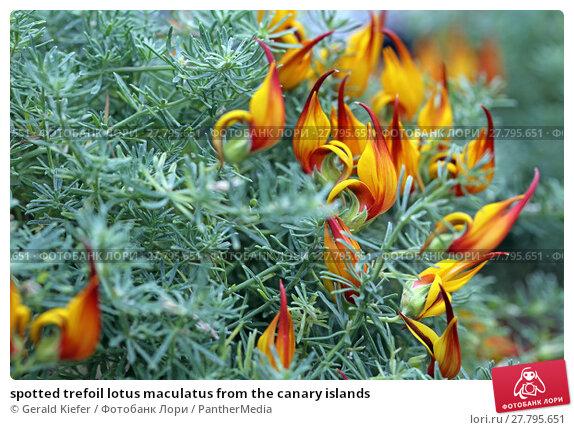 Купить «spotted trefoil lotus maculatus from the canary islands», фото № 27795651, снято 18 февраля 2018 г. (c) PantherMedia / Фотобанк Лори