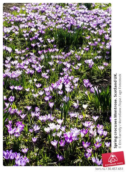 Spring crocuses Montrose. Scotland UK. Стоковое фото, фотограф Eric Farrelly / age Fotostock / Фотобанк Лори