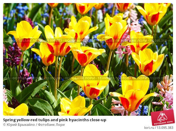 Купить «Spring yellow-red tulips and pink hyacinths close-up», фото № 13095383, снято 28 марта 2014 г. (c) Юрий Брыкайло / Фотобанк Лори