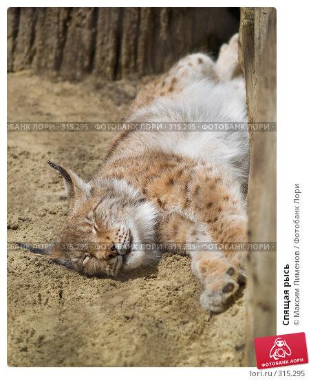 Спящая рысь, фото № 315295, снято 10 мая 2008 г. (c) Максим Пименов / Фотобанк Лори