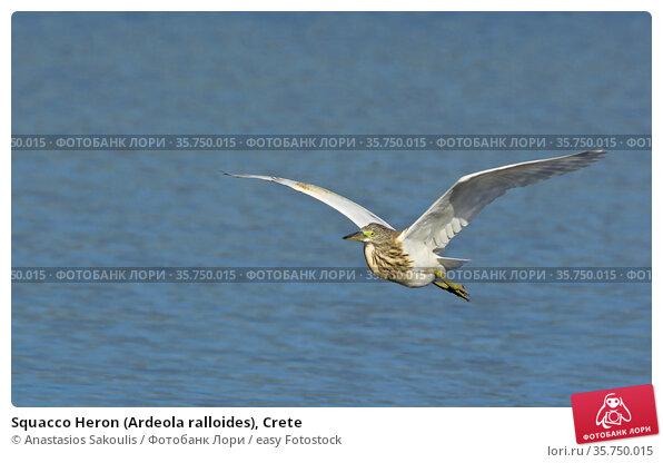 Squacco Heron (Ardeola ralloides), Crete. Стоковое фото, фотограф Anastasios Sakoulis / easy Fotostock / Фотобанк Лори