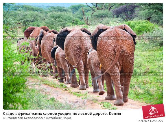 Купить «Стадо африканских слонов уходит по лесной дороге, Кения», фото № 1256227, снято 23 октября 2008 г. (c) Станислав Белоглазов / Фотобанк Лори