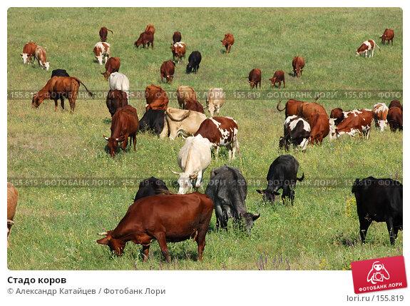 Стадо коров, фото № 155819, снято 18 августа 2007 г. (c) Александр Катайцев / Фотобанк Лори