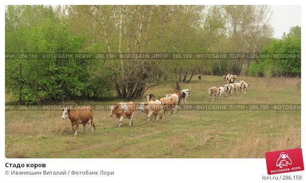 Стадо коров, фото № 286159, снято 19 января 2017 г. (c) Иванюшин Виталий / Фотобанк Лори