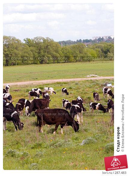 Стадо коров, фото № 287483, снято 16 мая 2008 г. (c) Елена Блохина / Фотобанк Лори