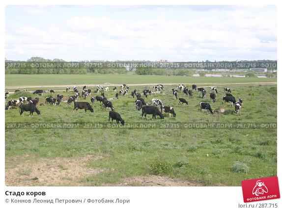 Стадо коров, фото № 287715, снято 16 мая 2008 г. (c) Коннов Леонид Петрович / Фотобанк Лори