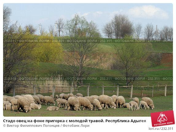 Стадо овец на фоне пригорка с молодой травой. Республика Адыгея, фото № 232311, снято 6 апреля 2006 г. (c) Виктор Филиппович Погонцев / Фотобанк Лори