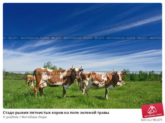 Стадо рыжих пятнистых коров на поле зеленой травы, фото № 90671, снято 10 июня 2007 г. (c) podfoto / Фотобанк Лори