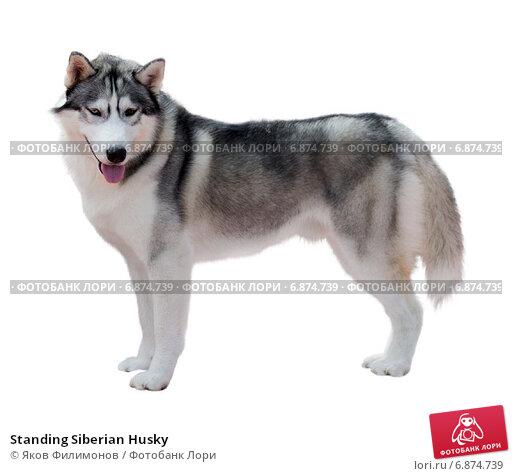 Купить «Standing Siberian Husky», фото № 6874739, снято 1 июня 2014 г. (c) Яков Филимонов / Фотобанк Лори