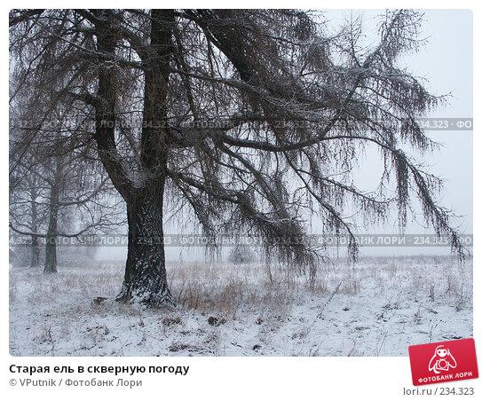 Купить «Старая ель в скверную погоду», фото № 234323, снято 13 января 2007 г. (c) VPutnik / Фотобанк Лори