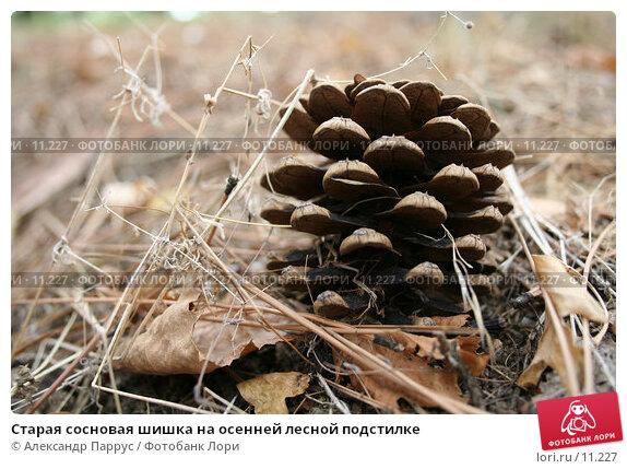 Старая сосновая шишка на осенней лесной подстилке, фото № 11227, снято 10 сентября 2006 г. (c) Александр Паррус / Фотобанк Лори