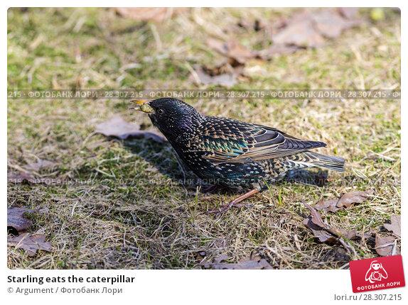 Купить «Starling eats the caterpillar», фото № 28307215, снято 11 апреля 2018 г. (c) Argument / Фотобанк Лори