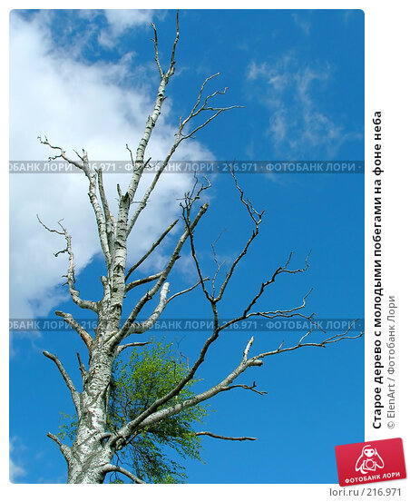 Старое дерево с молодыми побегами на фоне неба, фото № 216971, снято 27 июня 2017 г. (c) ElenArt / Фотобанк Лори