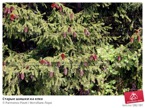Старые шишки на елке, фото № 282191, снято 10 мая 2008 г. (c) Parmenov Pavel / Фотобанк Лори