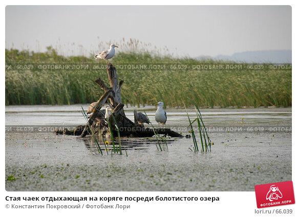 Стая чаек отдыхающая на коряге посреди болотистого озера, фото № 66039, снято 23 июня 2007 г. (c) Константин Покровский / Фотобанк Лори