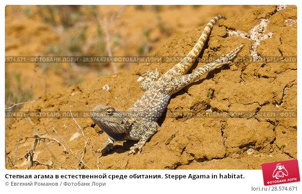 Купить «Степная агама в естественной среде обитания. Steppe Agama in habitat.», фото № 28574671, снято 18 января 2019 г. (c) Евгений Романов / Фотобанк Лори