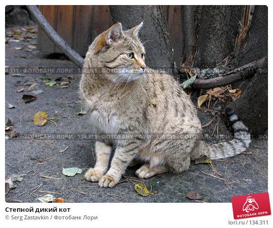 Купить «Степной дикий кот», фото № 134311, снято 10 октября 2004 г. (c) Serg Zastavkin / Фотобанк Лори