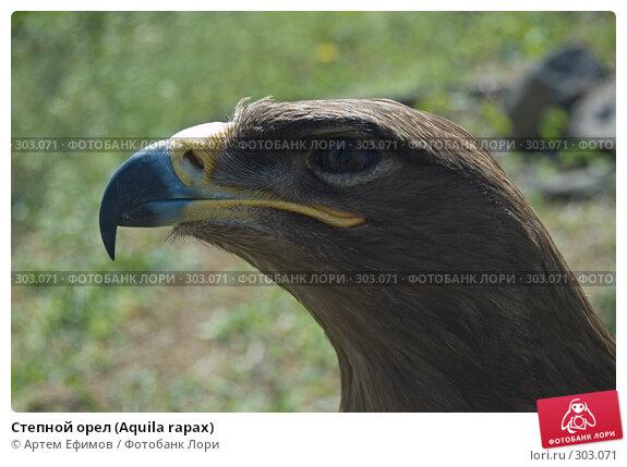 Степной орел (Aquila rapax), фото № 303071, снято 4 мая 2008 г. (c) Артем Ефимов / Фотобанк Лори