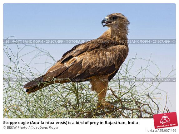 Купить «Steppe eagle (Aquila nipalensis) is a bird of prey in Rajasthan, India», фото № 25907499, снято 17 февраля 2019 г. (c) BE&W Photo / Фотобанк Лори