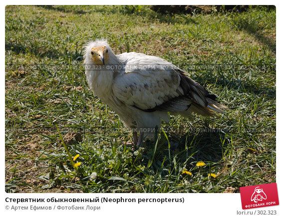 Стервятник обыкновенный (Neophron percnopterus), фото № 302323, снято 4 мая 2008 г. (c) Артем Ефимов / Фотобанк Лори